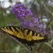 Swallowtail in the butterfly bush by randystreat