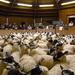 100 Mule store lambs by shirleybankfarm