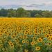Sunflower Field by dridsdale