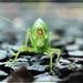 Katydid After the Rain by olivetreeann