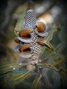 13th Aug 2016 - Banksia Nut_DSC9632