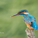 Kingfisher.. by markyl