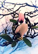 12th Aug 2016 - magnolia