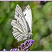 Green-Veined White Butterfly by carolmw
