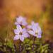 lavender #9a71ae