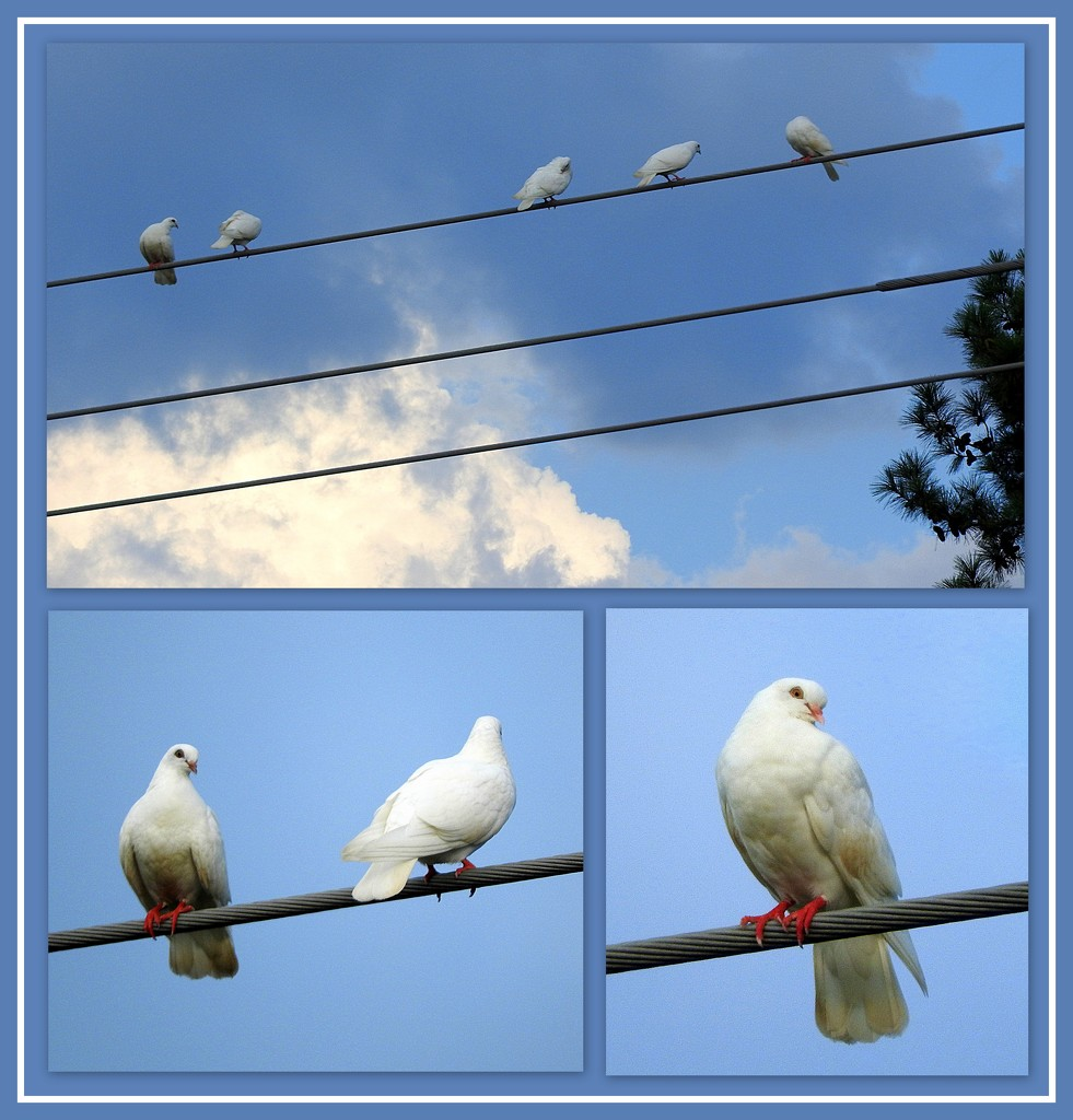 Doves or Pigeons! by homeschoolmom
