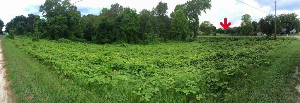 Field of ivy! by homeschoolmom