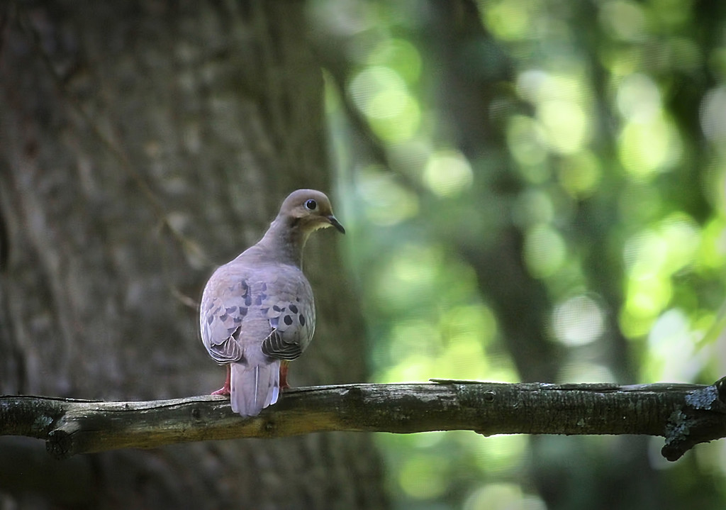 Mourning Dove by mzzhope