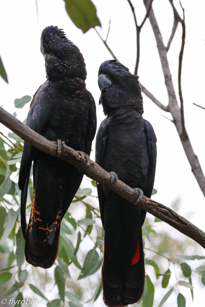Red-tailed black cockatoos by flyrobin
