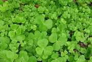 16th Aug 2016 - Shamrocks or clover?