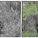 Baby Bobcats! by pixelchix