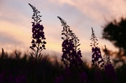 16th Aug 2016 - Day 229 - Fireflowers at Dusk
