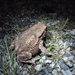 Frog or toad? by shirleybankfarm