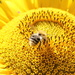 Bee on a sunflower by lucien