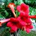 Trumpet like flowers