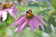17th Aug 2016 - LensBaby Bumble Bee