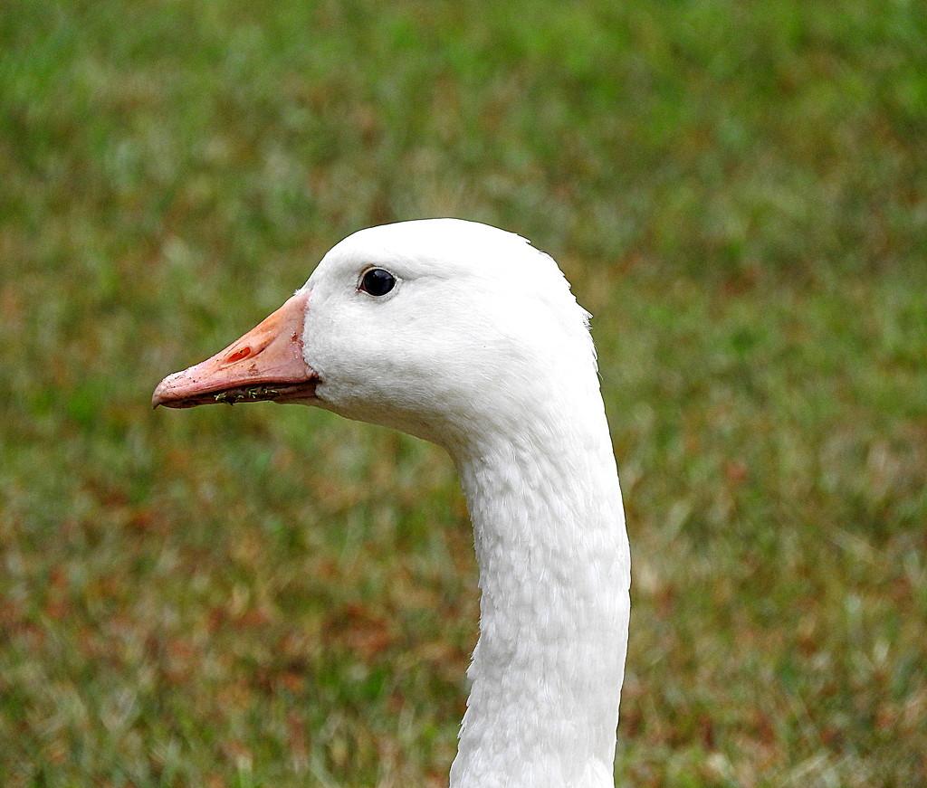 Goose! by homeschoolmom