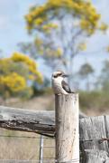 20th Aug 2016 - Kookaburra at Ballandean