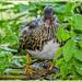 Mandarin Duck (Juvenile)
