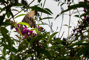 17th Aug 2016 - One butterfly