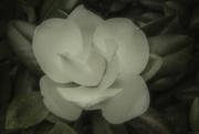 13th Aug 2016 - Magnoilia bloom_