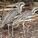 Bush Stone-Curlew by terryliv