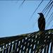 backside of blackbird
