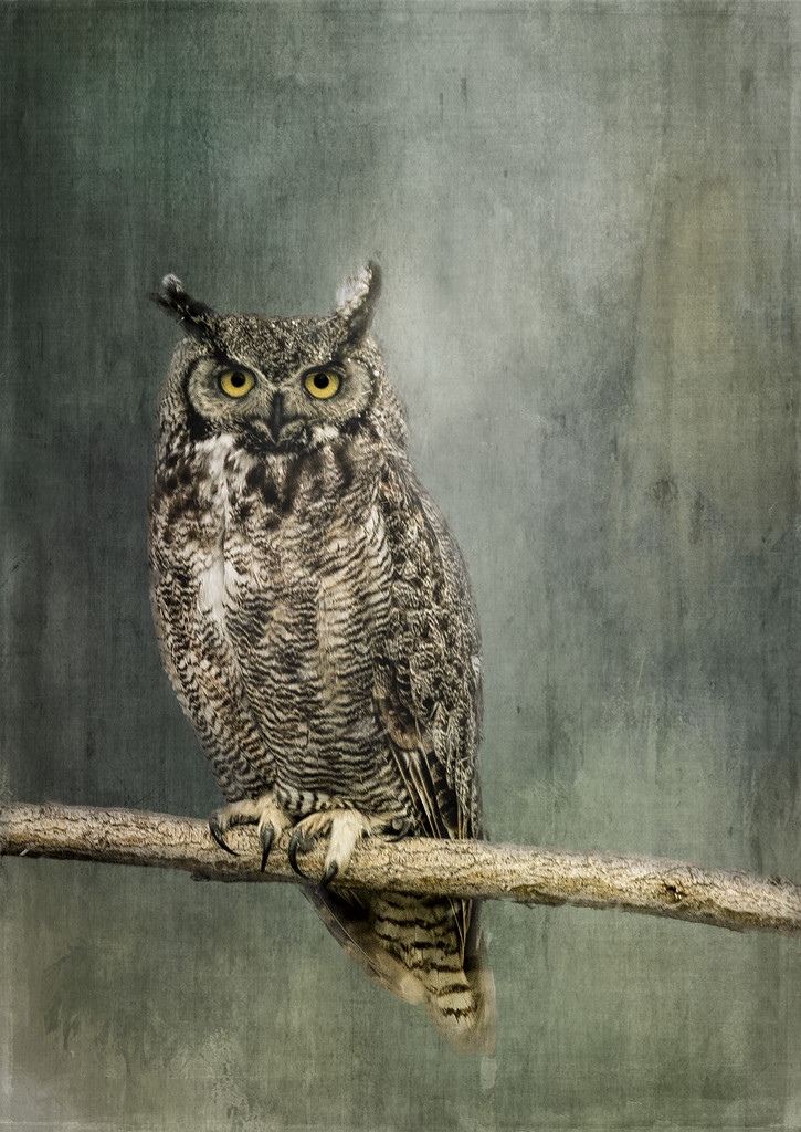 Great Horned Owl for Textures  by jgpittenger