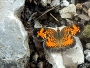 10th Aug 2016 - Pearl Crescent [filler #17]
