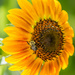 Another day, another sunflower... by dridsdale