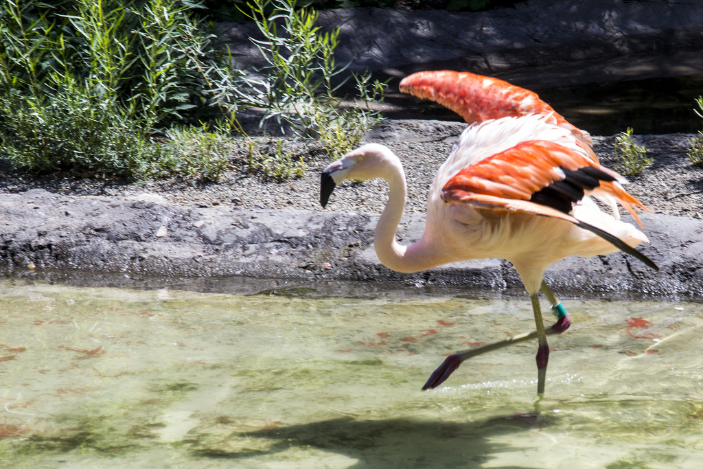Dancing the Flamingo by hjbenson