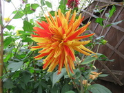 22nd Aug 2016 - Why Why Why Dahlia