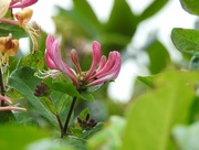 22nd Aug 2016 - Honeysuckle