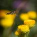 Hover fly, hovering. by jodies