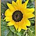 Sunflower  by beryl