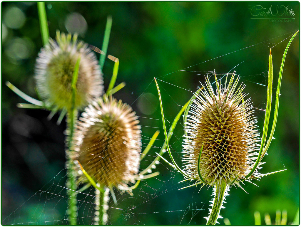 Teasels And Spider's Web by carolmw