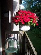 24th Aug 2016 - Red Petunias from apt. balcony