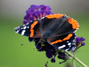 16th Aug 2016 - Red Admiral