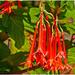 Fuchsia Splendens And Hoverfly