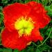 One gorgeous Poppy by 777margo