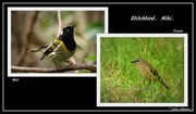 25th Aug 2016 - Stitchbird ... Hihi..