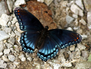 18th Aug 2016 - 'Astyanax' Red-spotted Purple