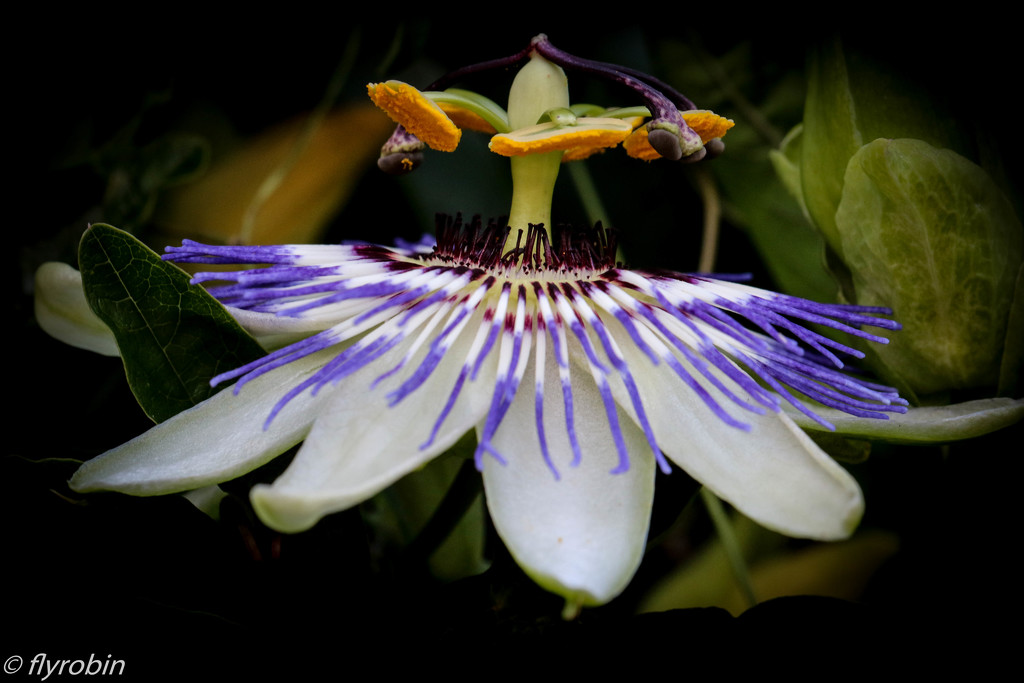 Passionfruit flower by flyrobin