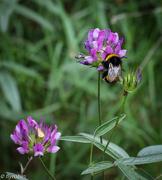 2nd Aug 2016 - Bumble bee