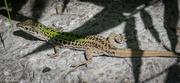 3rd Aug 2016 - Green lizard