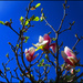 Magnolia flower by kerenmcsweeney