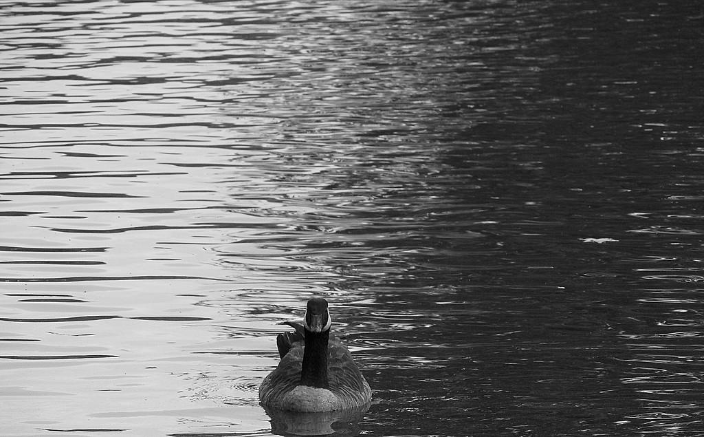 Minimal goose! by homeschoolmom