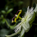 Passion Flower by tonygig
