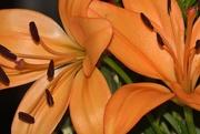 20th Aug 2016 - Orange Lilies