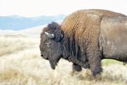 24th Aug 2016 - Bison Bull